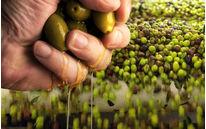 Enquête - Les fraudes à l'huile d'olive