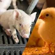 Bien-être animalDes avancées mais pas encore d'étiquetage
