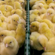 Bien-être animalLa fin du broyage des poussins pour 2022