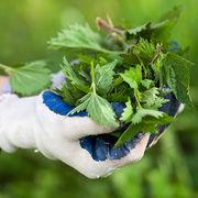 Jardiner sans pesticidesLe purin d'ortie sauvé