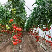 Légumes bio - La culture de tomates bio sous serre échauffe les producteurs