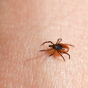 Maladie de LymeComment éviter les piqûres de tique