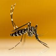 Moustique tigreUne panoplie de tests pour s'en protéger