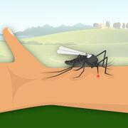 Moustiques (infographie)Vous et les piqûres de moustiques