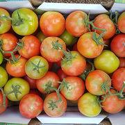 Nouveau virus de la tomate - Comment identifier les plantes touchées