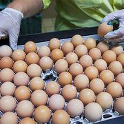 Œufs contaminés au fipronilDes lots livrés en France