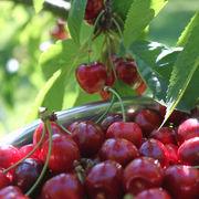 Pesticides - Clap de fin pour le diméthoate sur les cerises