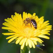 Pesticides tueurs d'abeillesUne interdiction enfin définitive!