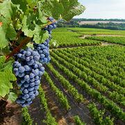 Plantations de vignesLes vignerons contre la libéralisation