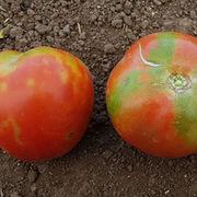 Virus - Alerte rouge sur la tomate