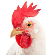 AlimentationUn poulet mondialisé