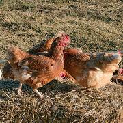 Bien-être animalManger bio fait du bien aux animaux