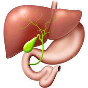 DigestionÀ quoi sert la vésicule biliaire