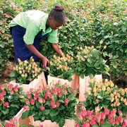 Roses équitablesUn marché en éclosion