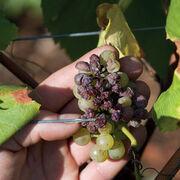 VinsLes vignobles en danger en raison du changement climatique