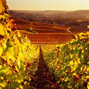 ChampagnesPeur sur la vigne