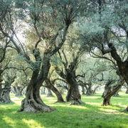Huile d'oliveLa production française à la peine
