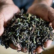 Thés noirsBien choisir et apprécier un thé noir